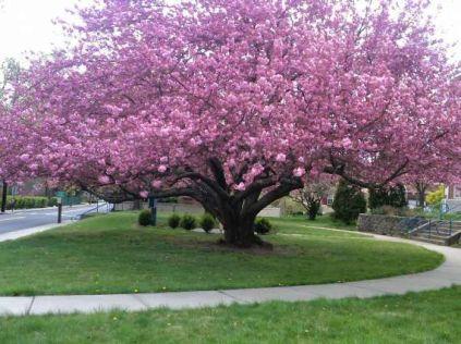 6a1eeed044c265dba994cb4e22bca01e--cherry-blossom-tree-blossom-trees
